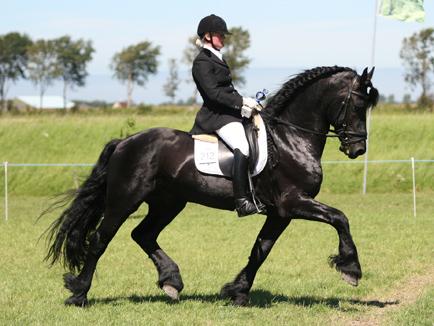 Friese Paard Horses Nl