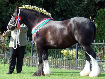 Shire Horses Nl