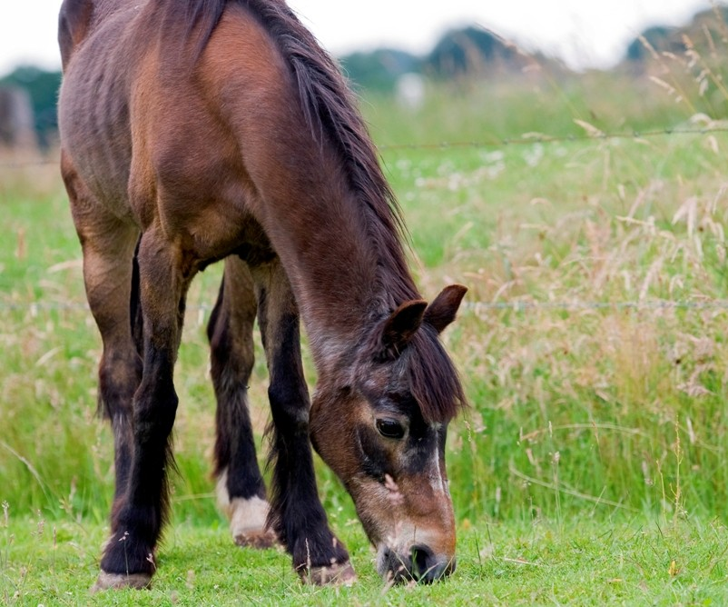Oud grazend paard