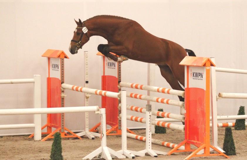 223 (Los Angeles x Lupicor) Foto: Jacquelien van Tartwijk / De Paardenkrant