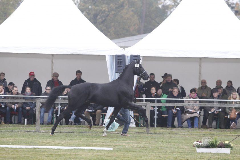 Cat.nr 77 (Grey Flanell x Donnerhall x Aarking xx) - Foto: Paardenkrant-Horses.nl/Rick Helmink