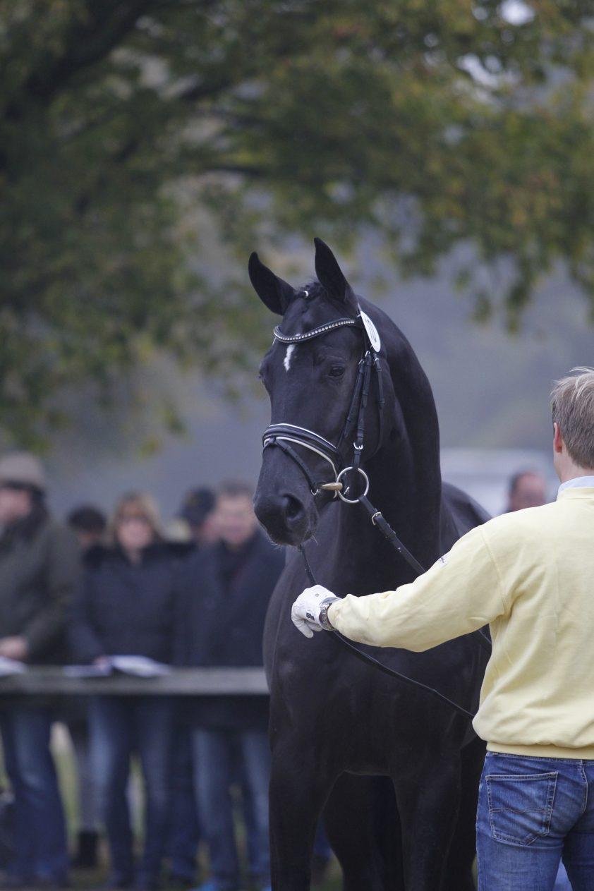 Cat.nr 10 (Dancier x Wolkenstein II x Eichendorff) - Foto: Paardenkrant-Horses.nl/Rick Helmink