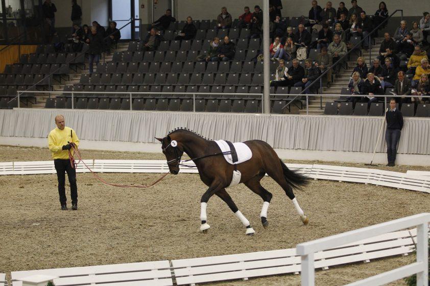 Cat.nr 3 (Best of Gold x Sungold x De Niro) - Foto: Paardenkrant-Horses.nl/Rick Helmink