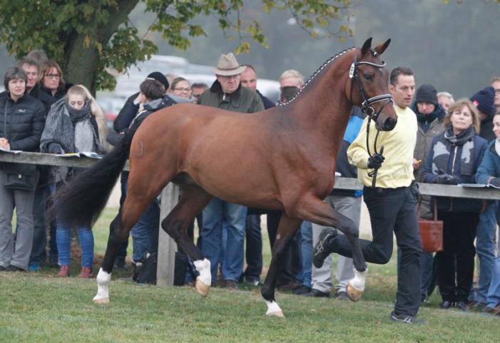 Cat.nr 65 (Franziskus x Espri x Gardeulan I) - Foto: Paardenkrant-Horses.nl/Rick Helmink