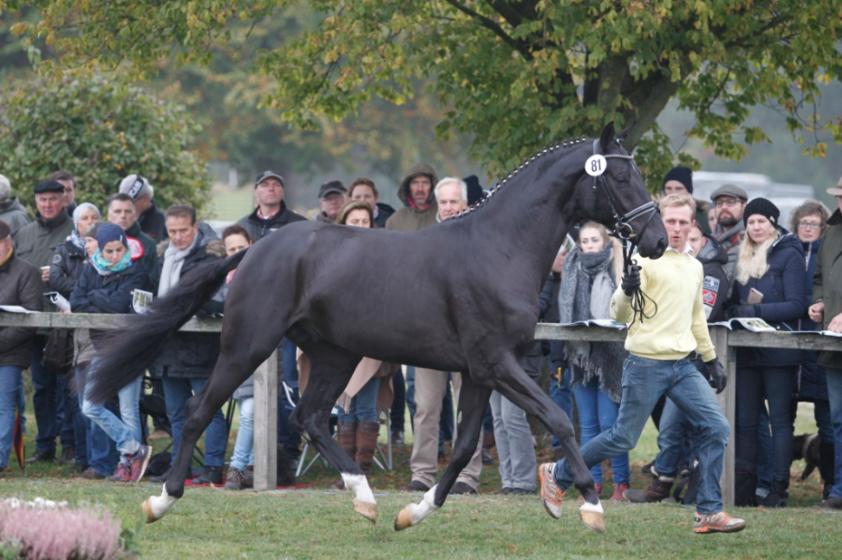 Cat.nr 81 (Quantensprung Fidertanz x Hohenstein) - Foto: Paardenkrant-Horses.nl/Rick Helmink