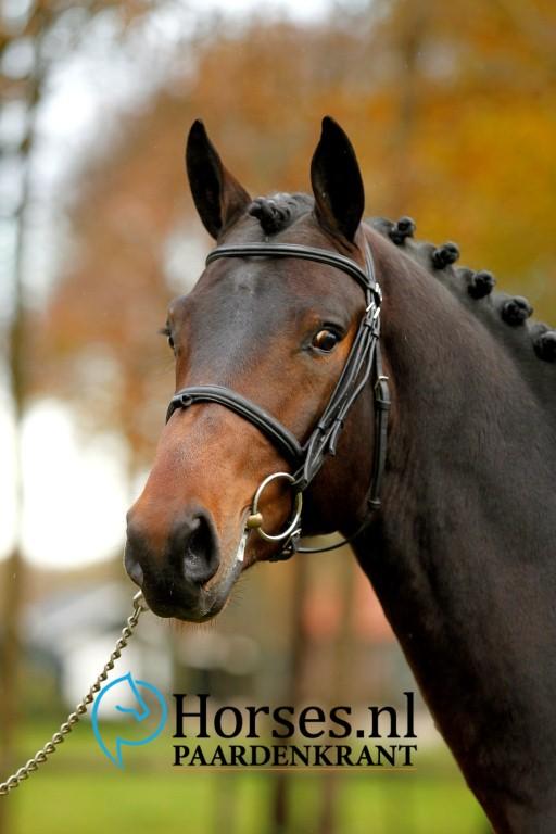 Cat.nr.18: Van Gogh x Contendro. Foto: Paardenkrant-Horses.nl/Melanie Brevink