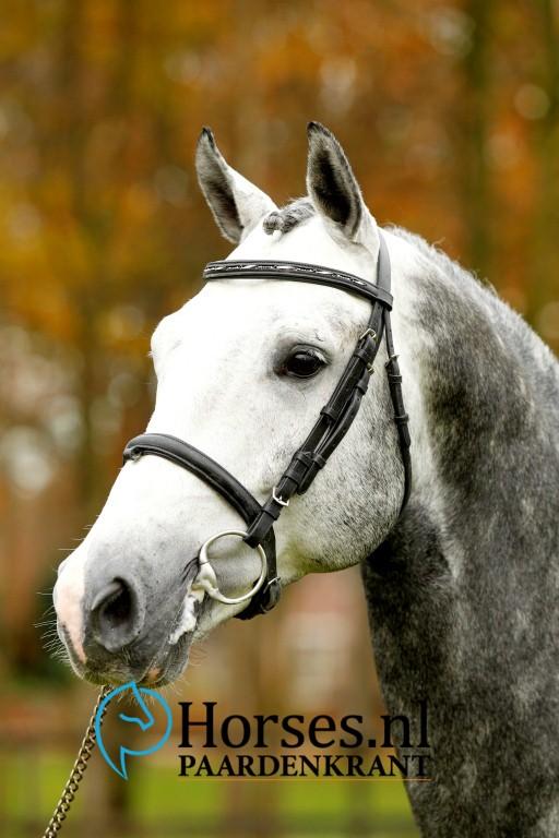 Cat.nr.19: Gondeliaz (Zambesi x Verdi). Foto: Paardenkrant-Horses.nl/Melanie Brevink
