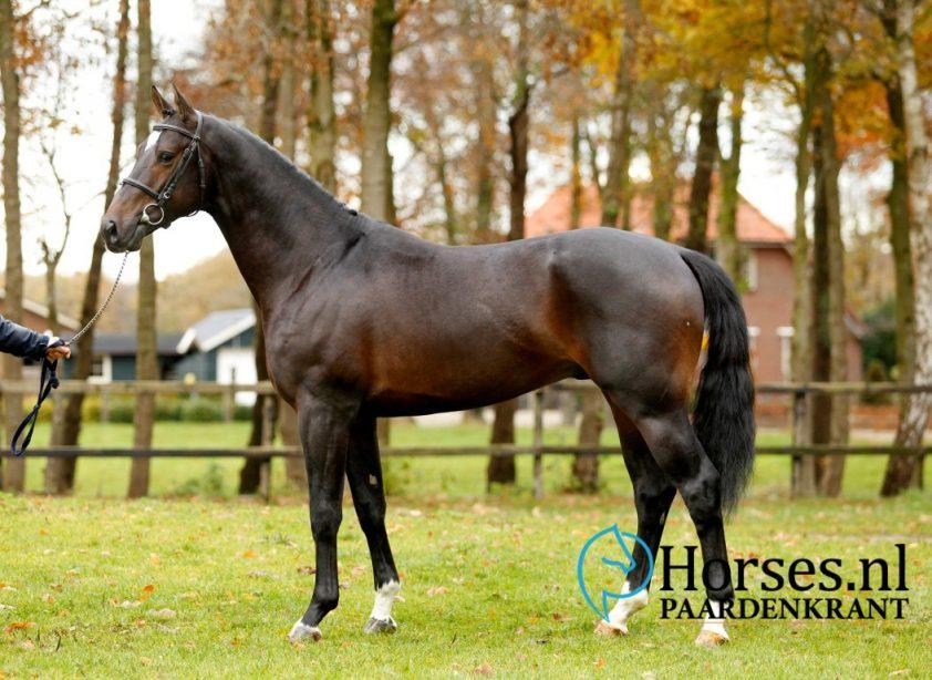 Cat.nr.23: Iniesta TN (Starpower x Padinus). Foto: Paardenkrant-Horses.nl/Melanie Brevink