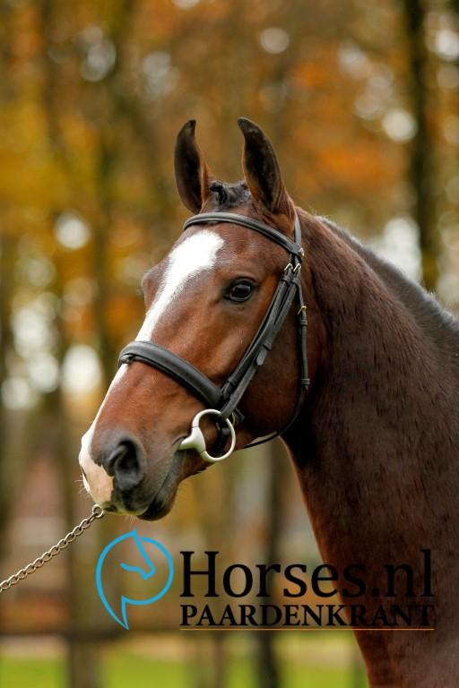 Cat.nr.4: Ipsthar (Denzel van 't Meulenhof x Farmer). Foto: Paardenkrant-Horses.nl/Melanie Brevink