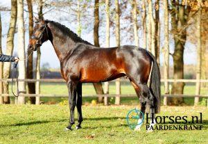 Cat.nr.58: Inclusive (Everdale x Uptown). Foto: Paardenkrant-Horses.nl/Melanie Brevink