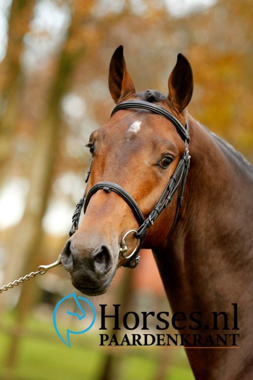 Cat.nr.8: Idrigill van de Groote Kamps (Kannan x Indoctro). Foto: Paardenkrant-Horses.nl/Melanie Brevink