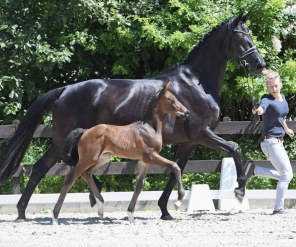 Glantz Und Gloria 80 000 voor escolar zoon op glantz und gloria auktion horses nl